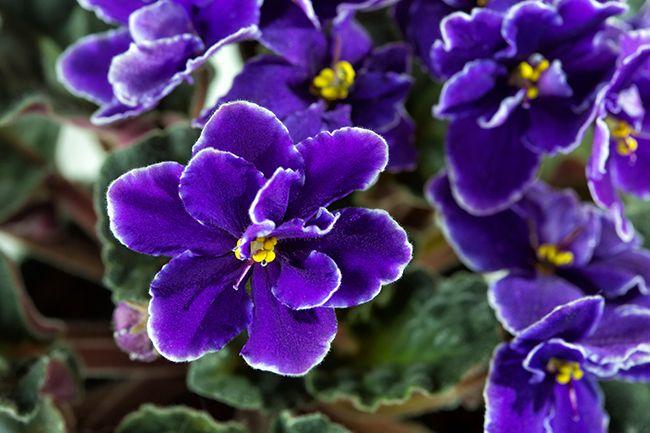 violeta aroma invierno